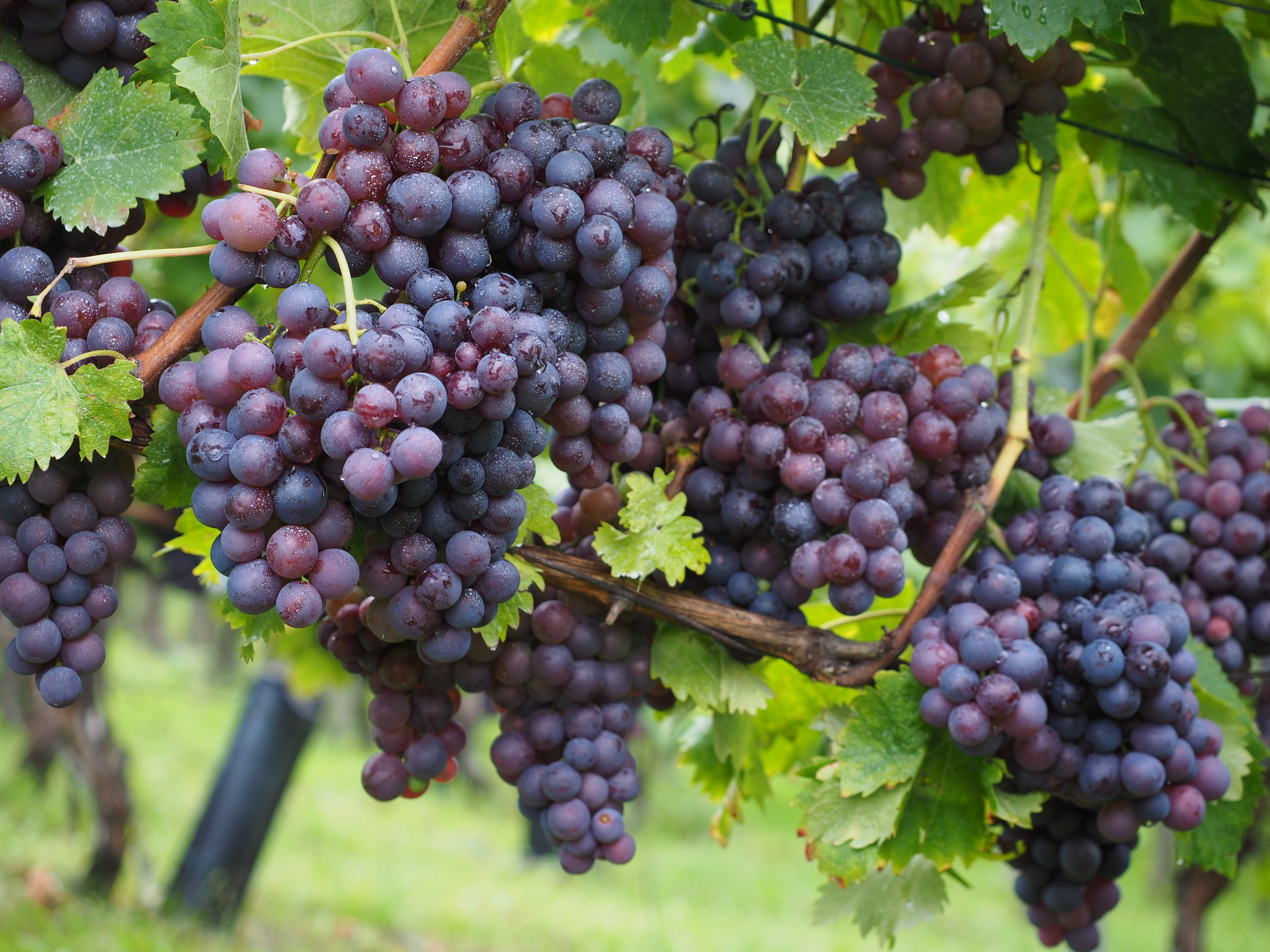 wine-berries-694196.jpg