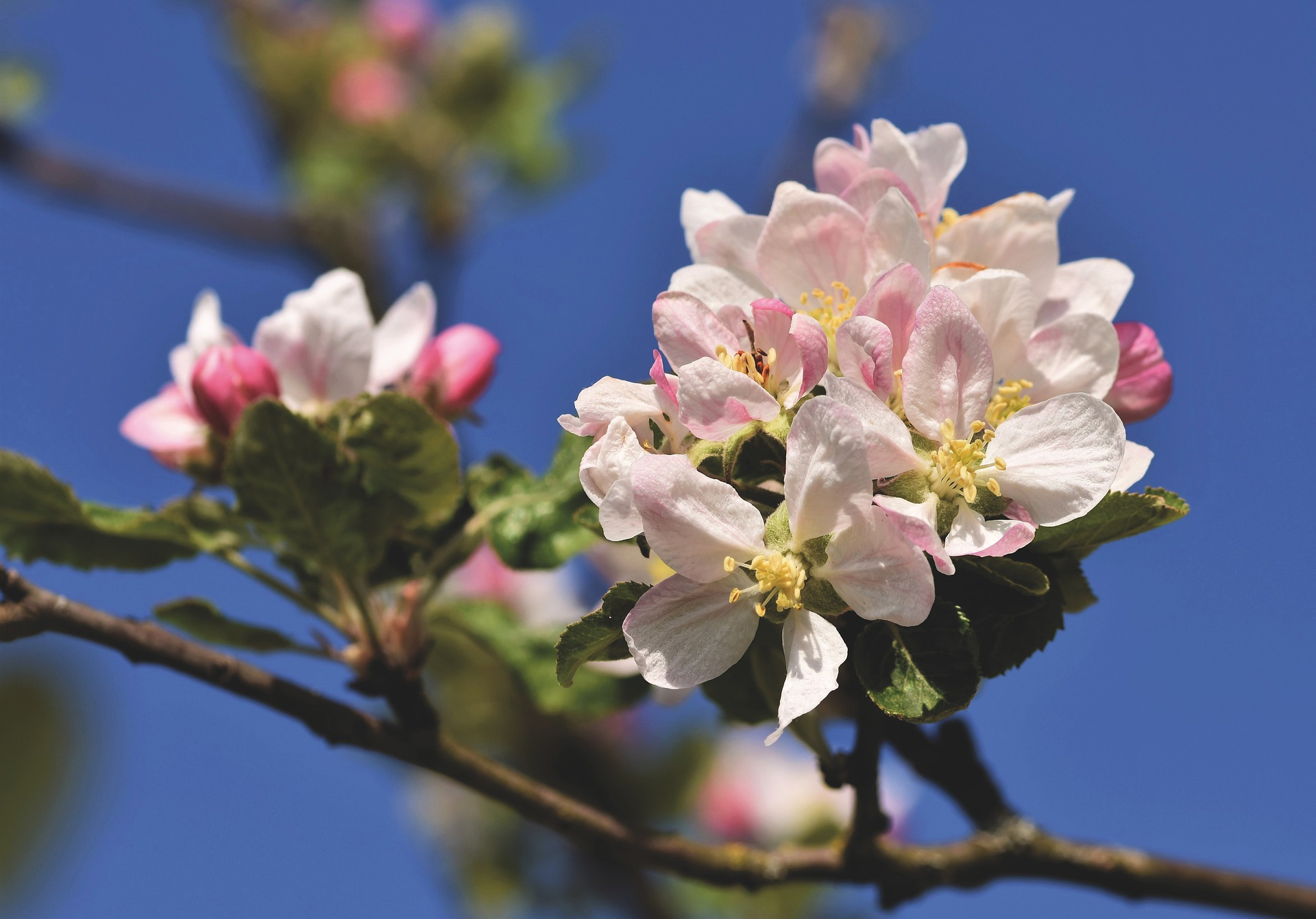 apple-blossom-5054129_1920.jpg